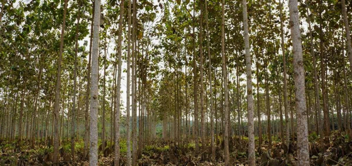 Mantenimiento y poda de formación en plantaciones de Teca, en la Comuna San Pablo, Provincia de Orellana
