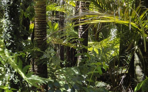 Una nueva especie de árbol fue descubierta en la Amazonía ecuatoriana